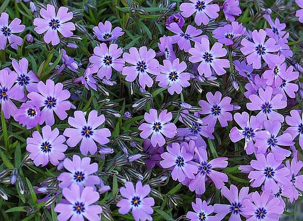 Phlox subulata Purple Beauty G-9