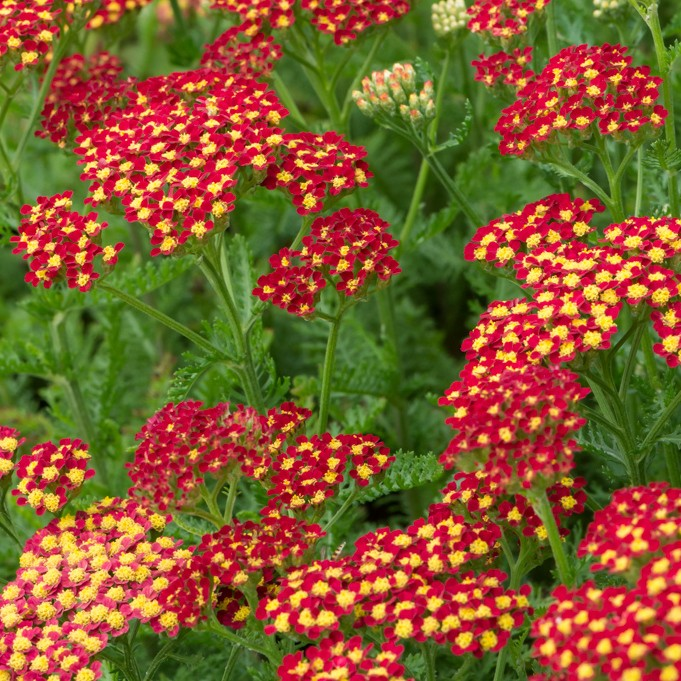 Achillea millefolium Milly Rock Red G-9