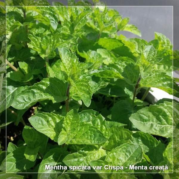 Mentha spicata var Crispa G-9