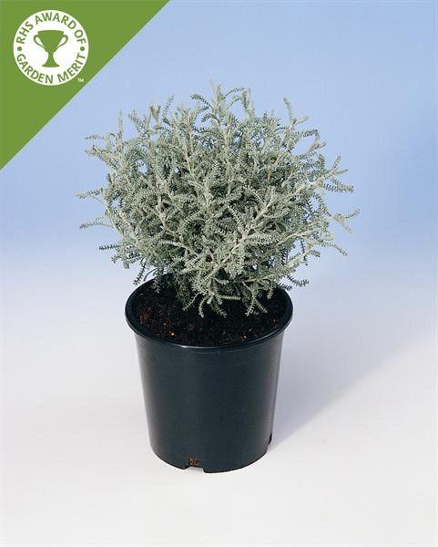 Santolina chamaecyparissus G-9