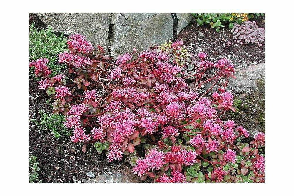Sedum spurium Medium Coccineum pack 10 plante