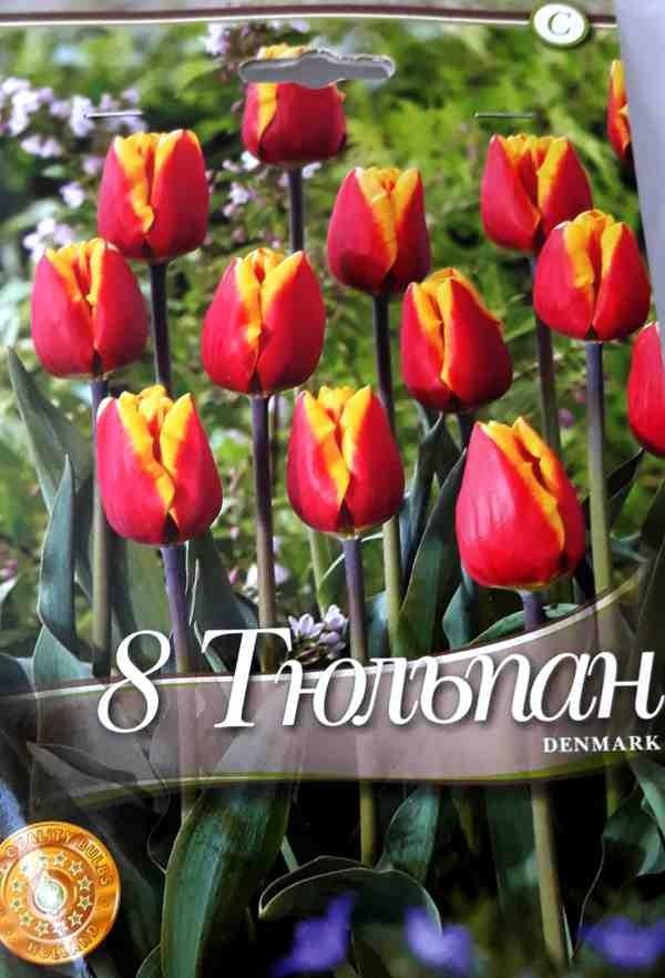 Bulbi de lalele Denmark - 8 bulbi