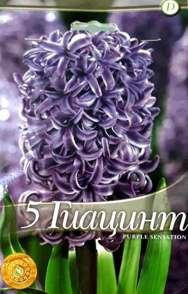 Bulbi de zambile - Hyacinthus Purple Sensation - 5 bulbi
