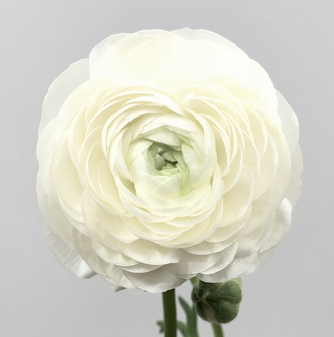 Bulbi de Ranunculus White - 10 bulbi
