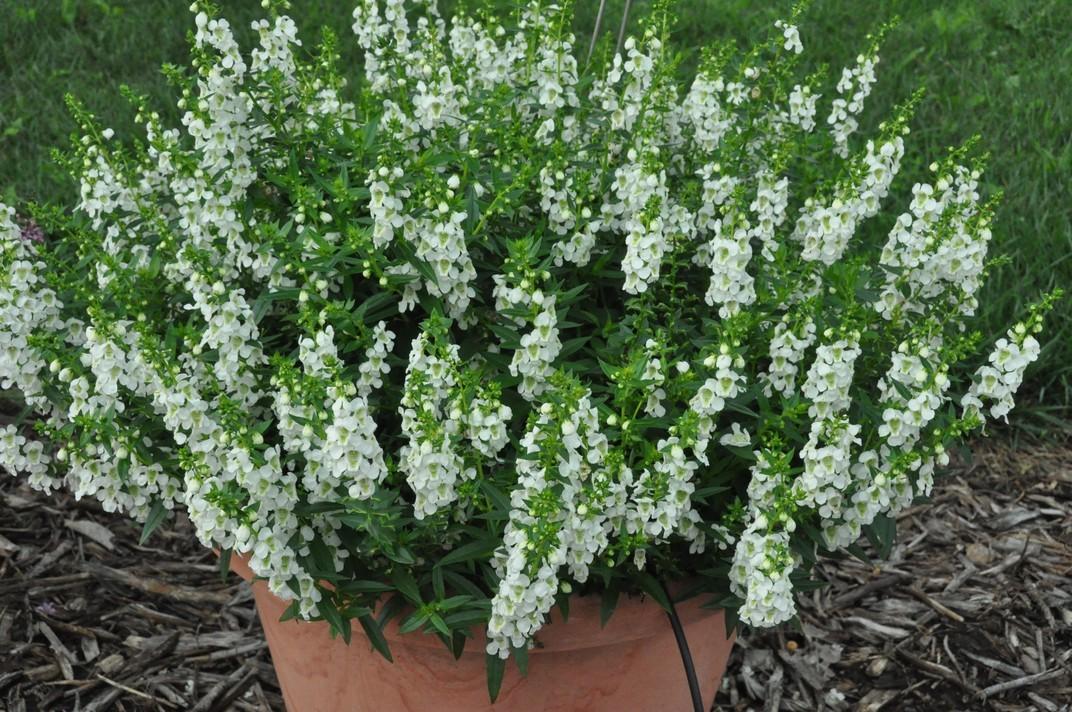Seminte Angelonia angustifolia Serenita F1 White