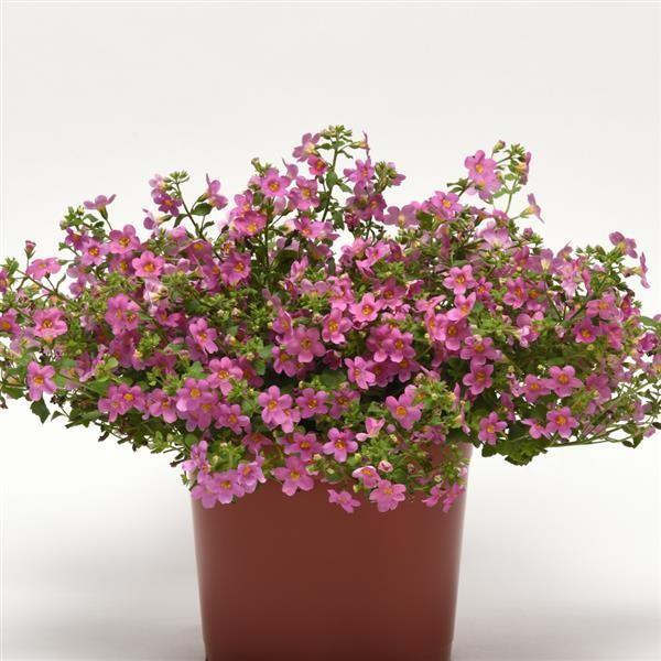 Seminte Bacopa Pinktopia