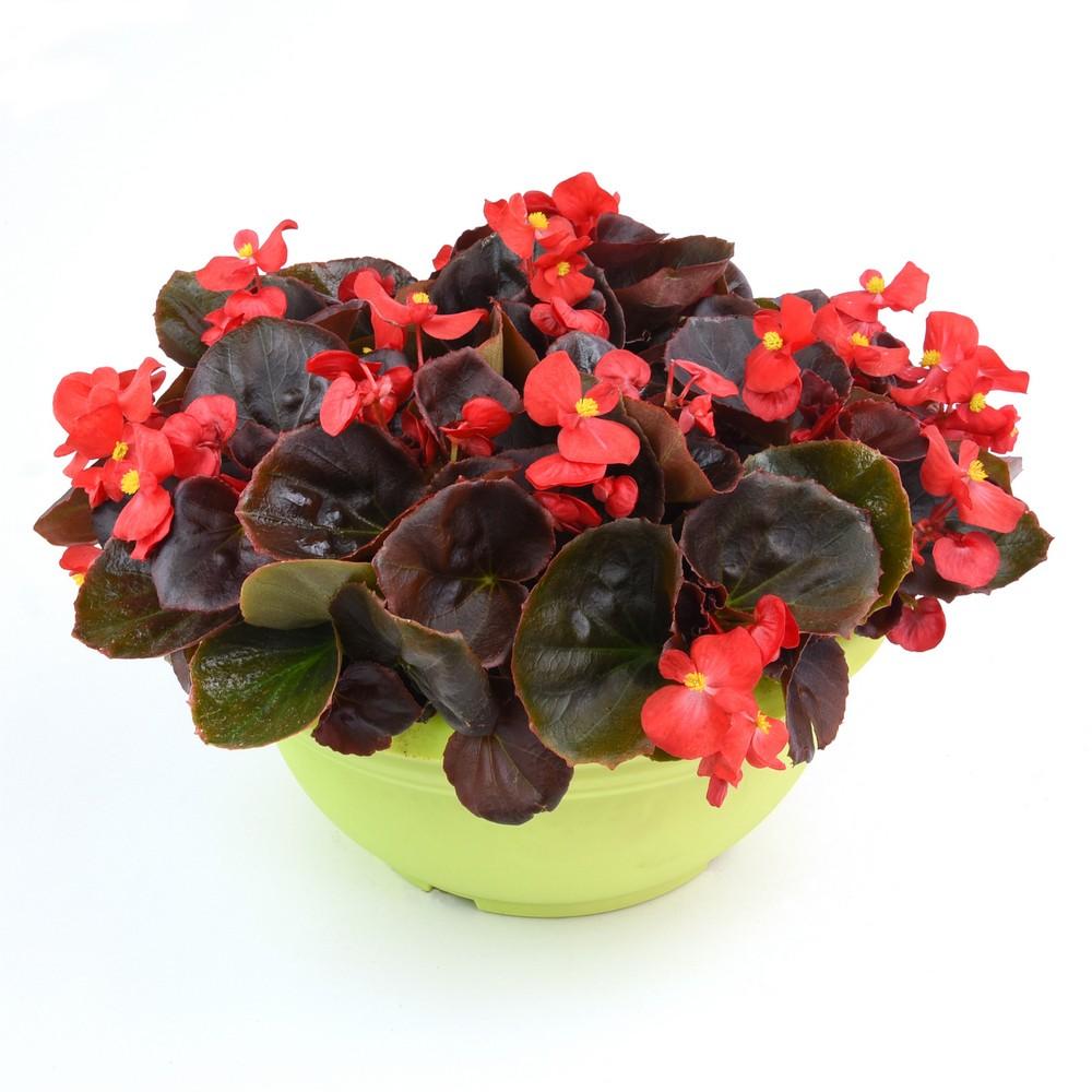 Seminte Begonia semperflorens Senator IQ F1 Scarlet drajerate