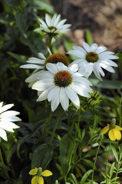 Echinaceea purpurea Powwow White G-9