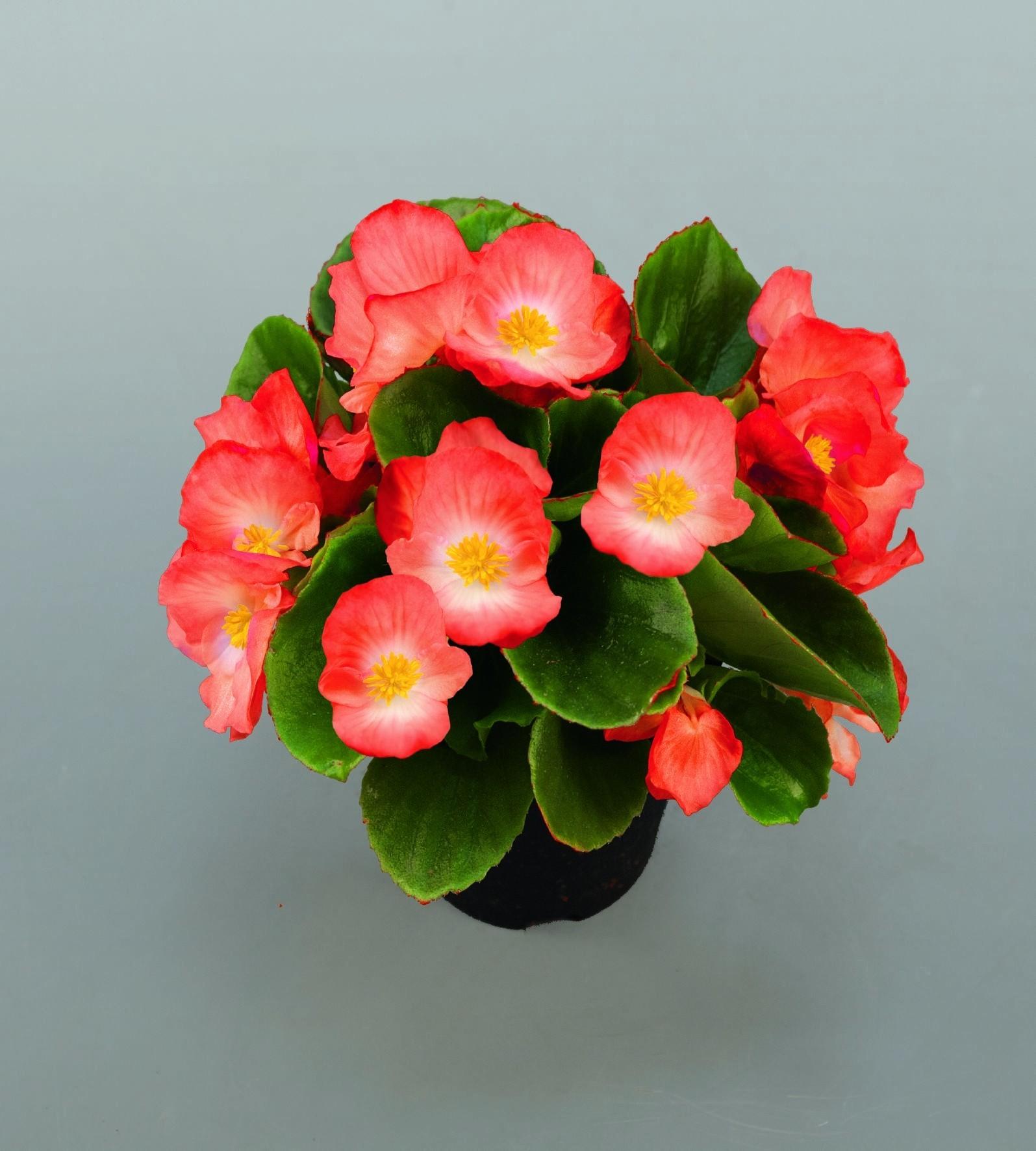 Seminte Begonia semperflorens Sprint Plus F1 Lipstick drajerate