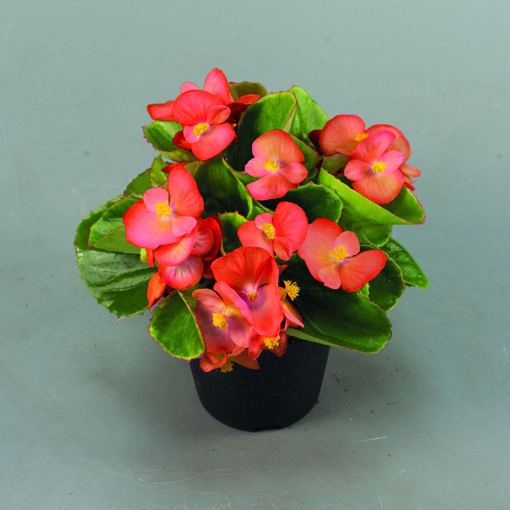 Seminte Begonia semperflorens Sprint Plus F1 Orange drajerate