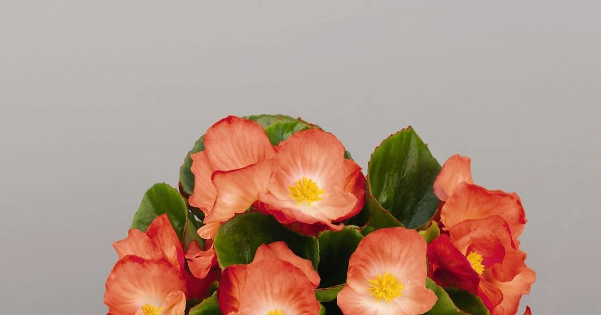 Seminte Begonia semperflorens Sprint Plus F1 Orange Bicolor drajerate