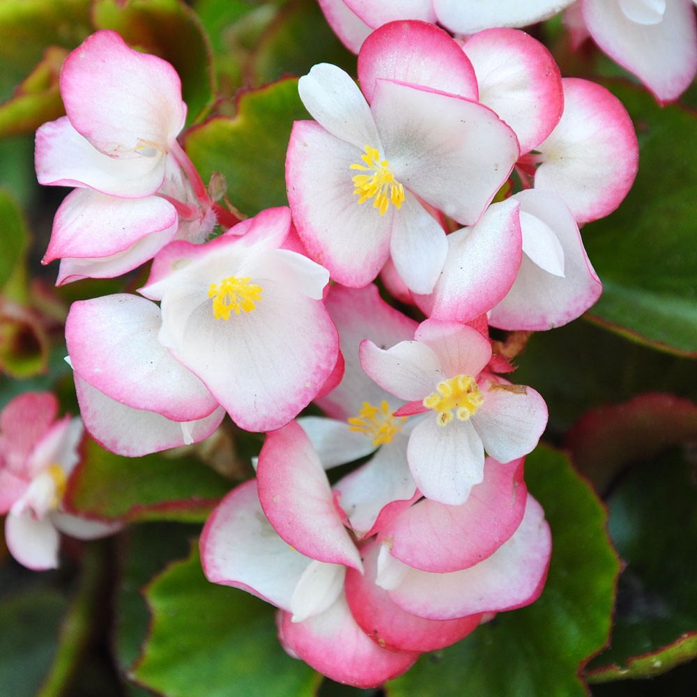 Seminte Begonia semperflorens Super Cool F1 Bicolor drajerate