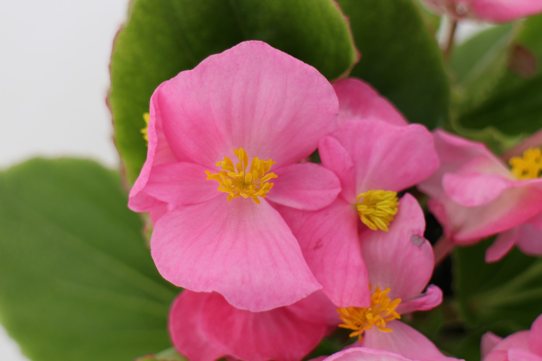 Seminte Begonia semperflorens Super Cool F1 Pink drajerate