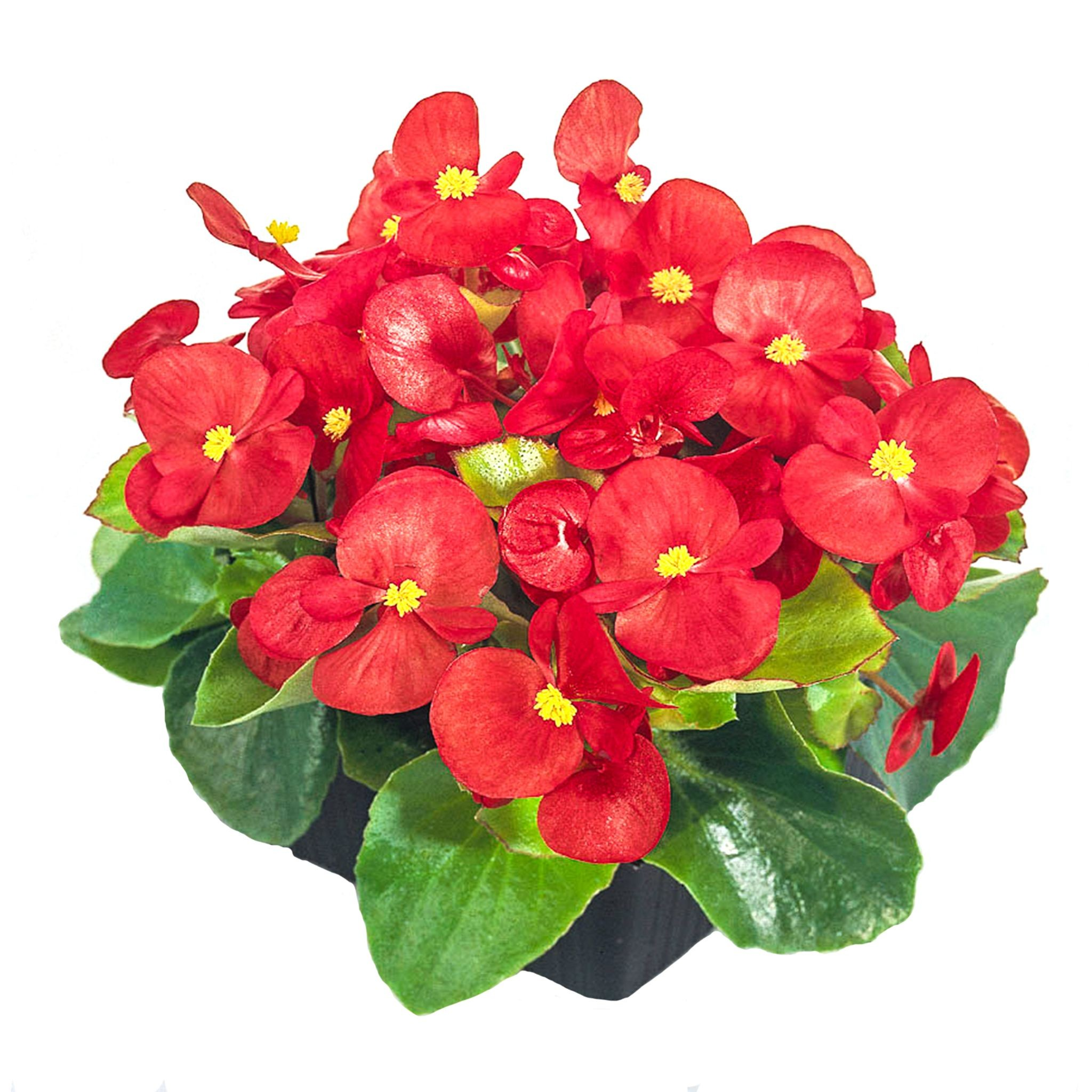Seminte Begonia semperflorens Super Cool F1 Red drajerate