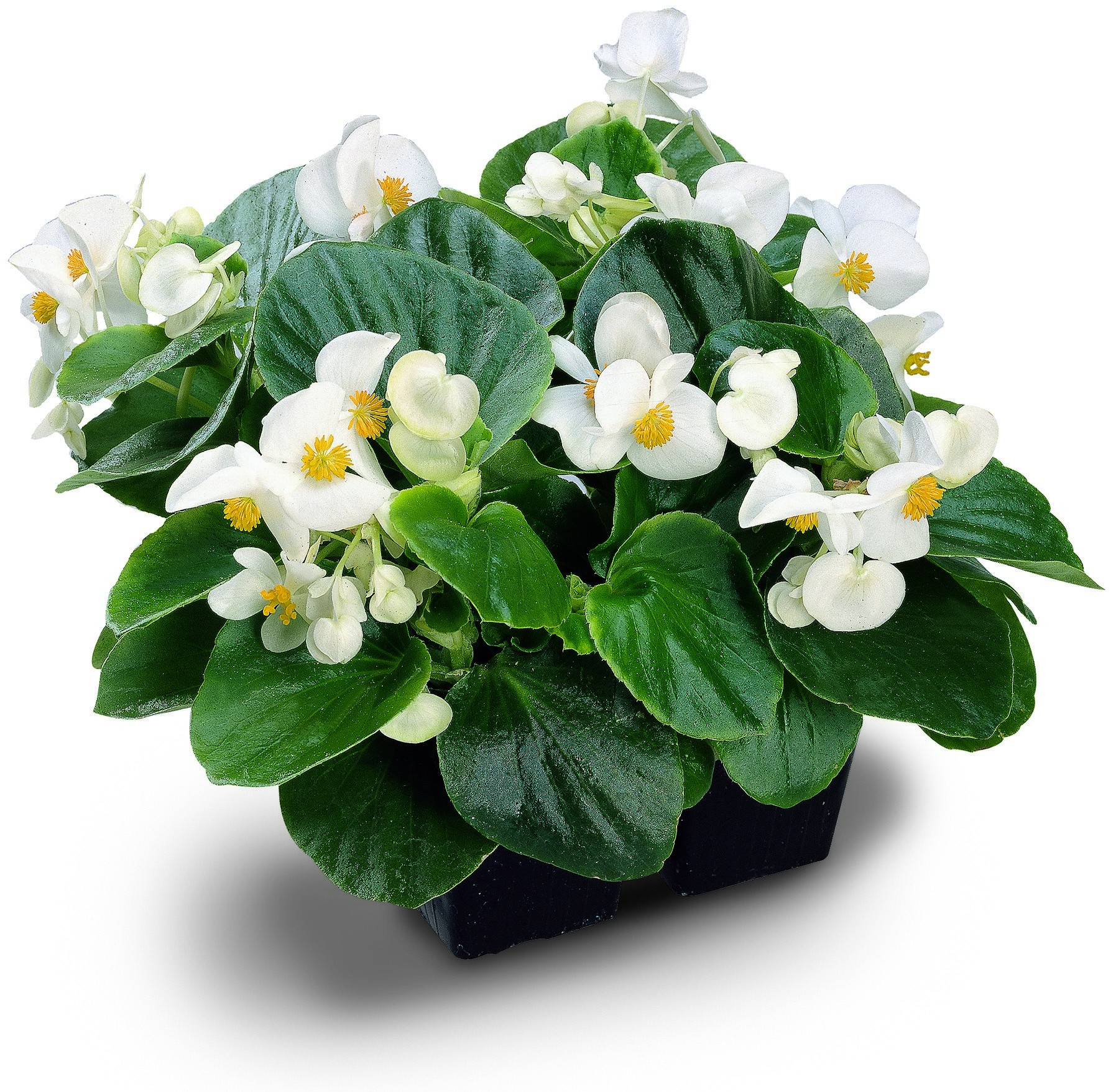 Seminte Begonia semperflorens Super Cool F1 White drajerate