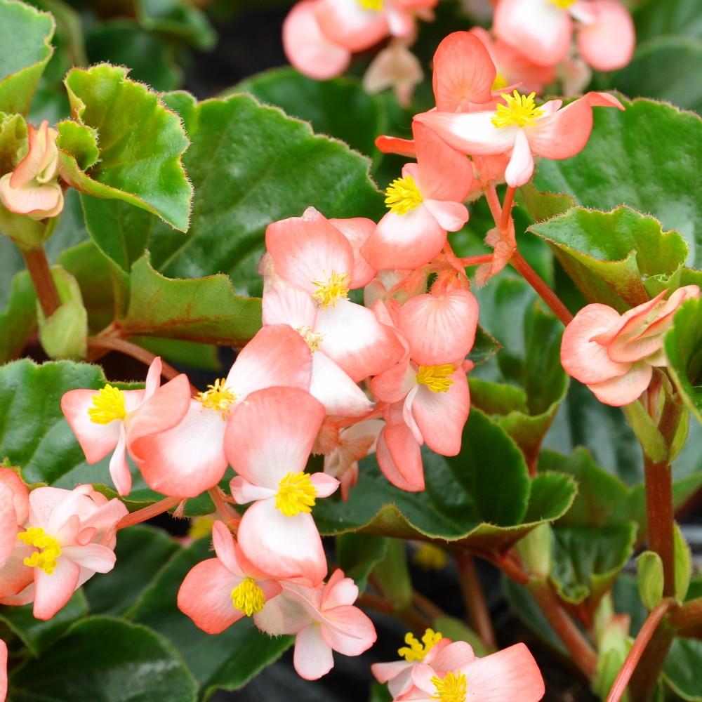 Seminte Begonia x hybrida Baby Wing F1 Bicolour