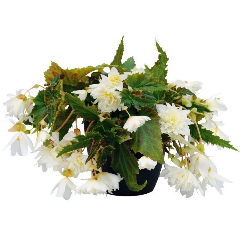 Seminte Begonia x hybrida Funky F1 White