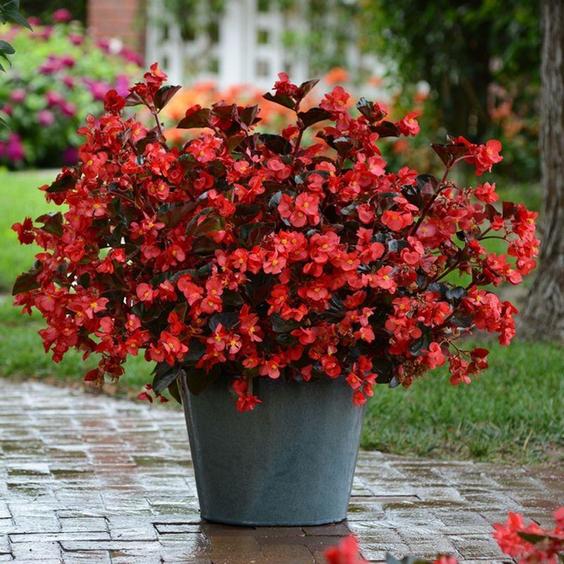 Seminte Begonia x hybrida Megawatt F1 Red Bronze Leaf