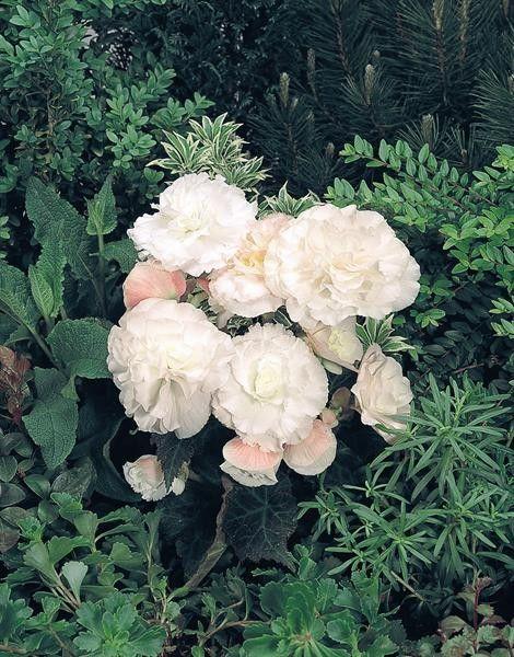 Seminte Begonia tuberhybrida Nonstop F1 mix 1000 drajeuri - lichidare