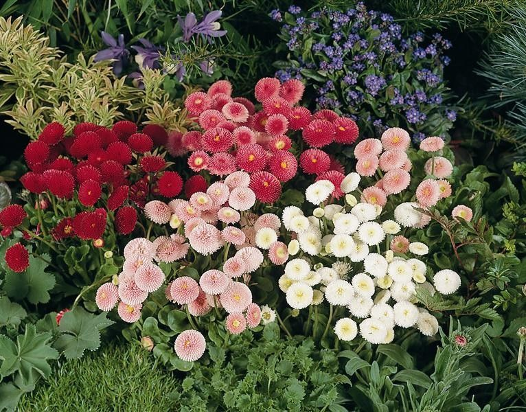 Seminte Bellis perennis Super Pompon Rose Carmin 0,25 g - lichidare
