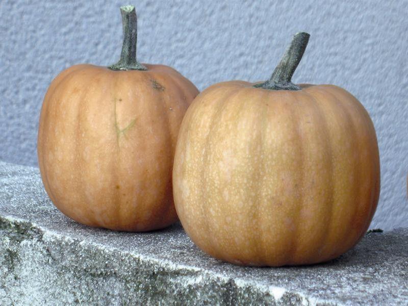 Seminte Dovleac - Cucurbita moschata Carat 50 seminte - lichidare