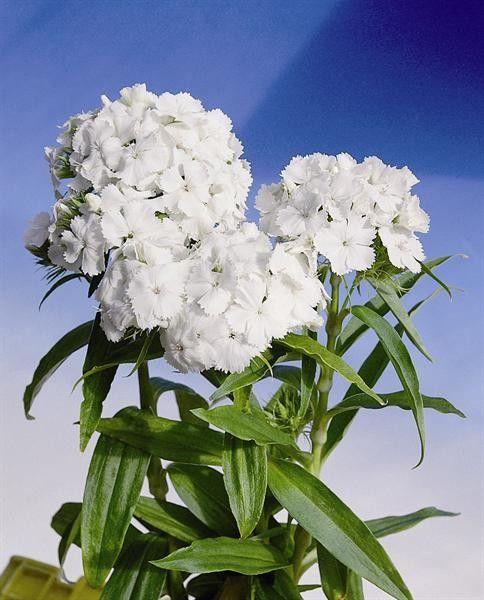 Seminte Dianthus barbatus Spring Charm White 5 g - lichidare