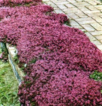Thymus praecox Red Carpet G-9