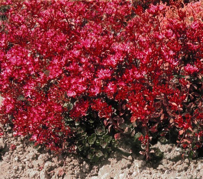 Seminte Sedum spurium Coccineum Deep Rose 5000 seminte - lichidare