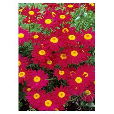 Tanacetum coccineum Robinson Red G-9