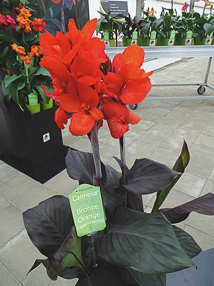 Seminte Canna indica Cannova F1 Bronze Orange