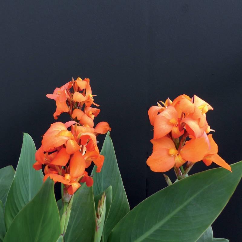 Seminte Canna indica Cannova F1 Orange Shades