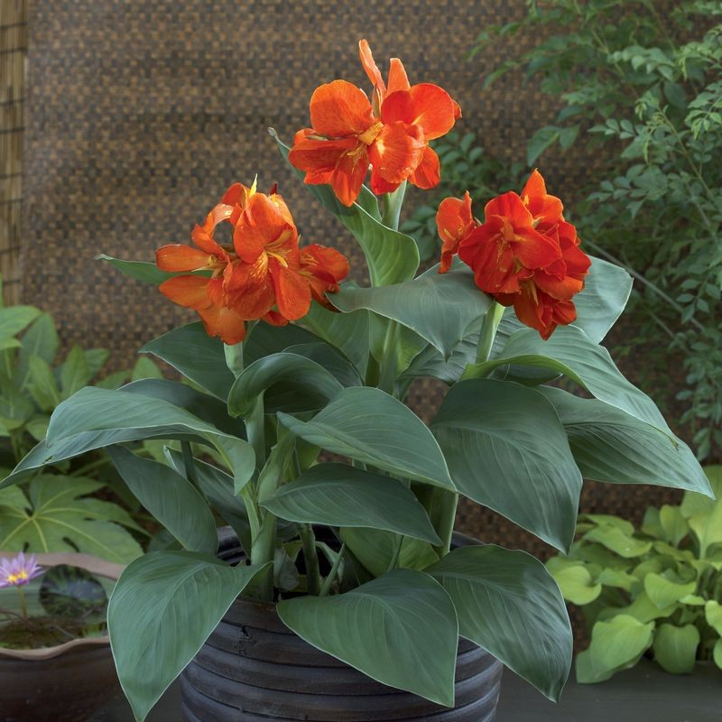 Seminte Canna indica South Pacific Orange