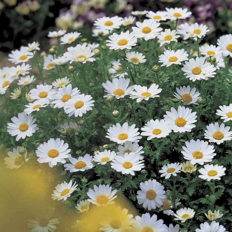 Seminte Chrysanthemum paludosum Snow Land Select