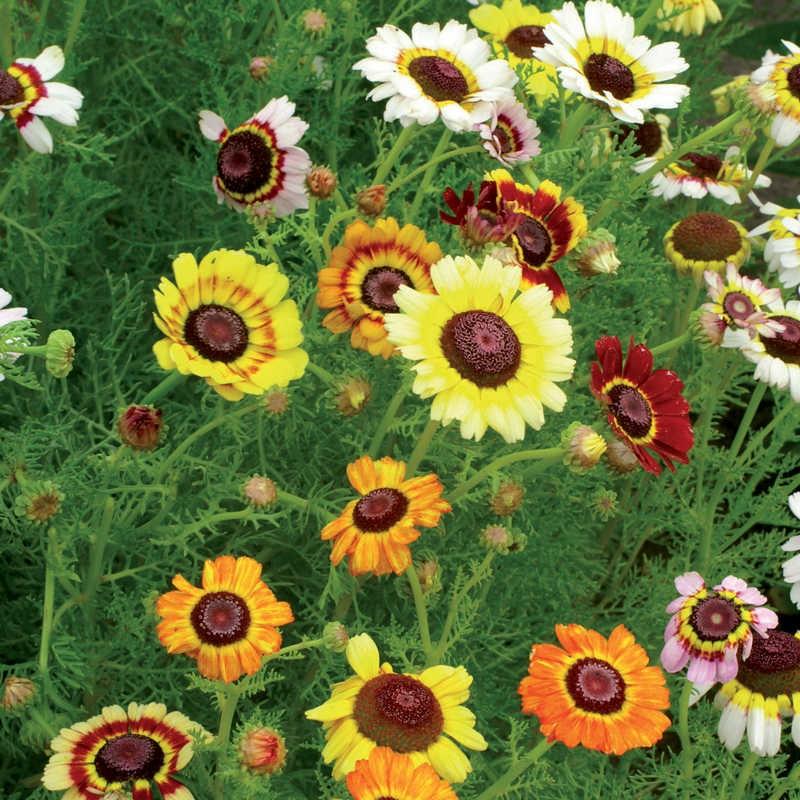Seminte Chrysanthemum carinatum Simple mix