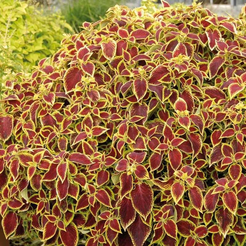 Seminte Coleus blumei Premium Sun Crimson Gold
