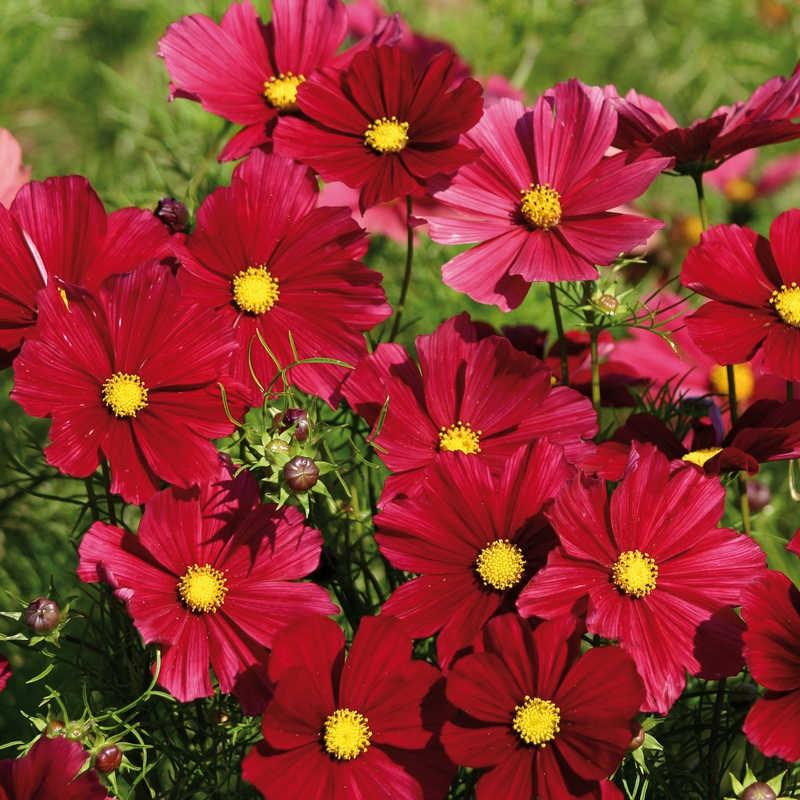 Seminte Cosmos bipinnatus Rubenza Ruby Red