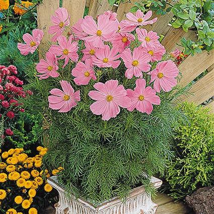 Seminte Cosmos bipinnatus Sonata Pink
