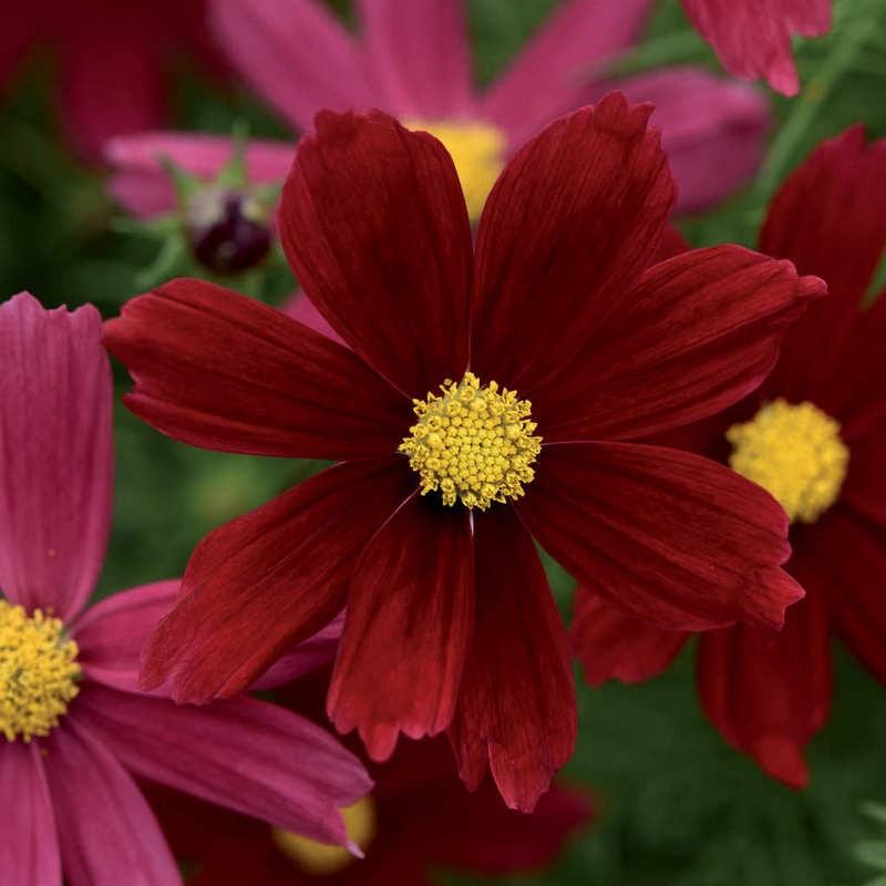 Seminte Cosmos bipinnatus Sonata Red Shades